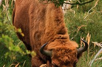 Wisent in Middenduin